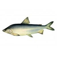 О рыбе муксун