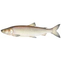 О рыбе нельма
